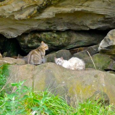 Por qué Australia quiere exterminar a millones de gatos salvajes