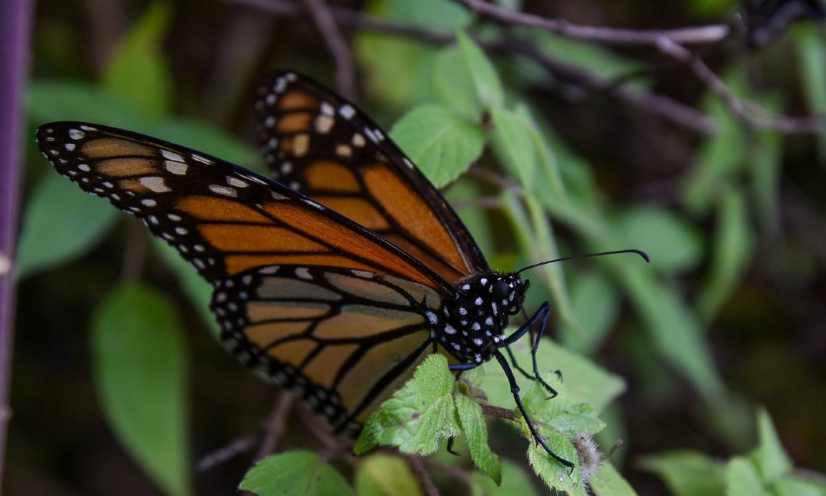 Niegan protección a mariposa monarca, no está en las Especies en Peligro de Extinción