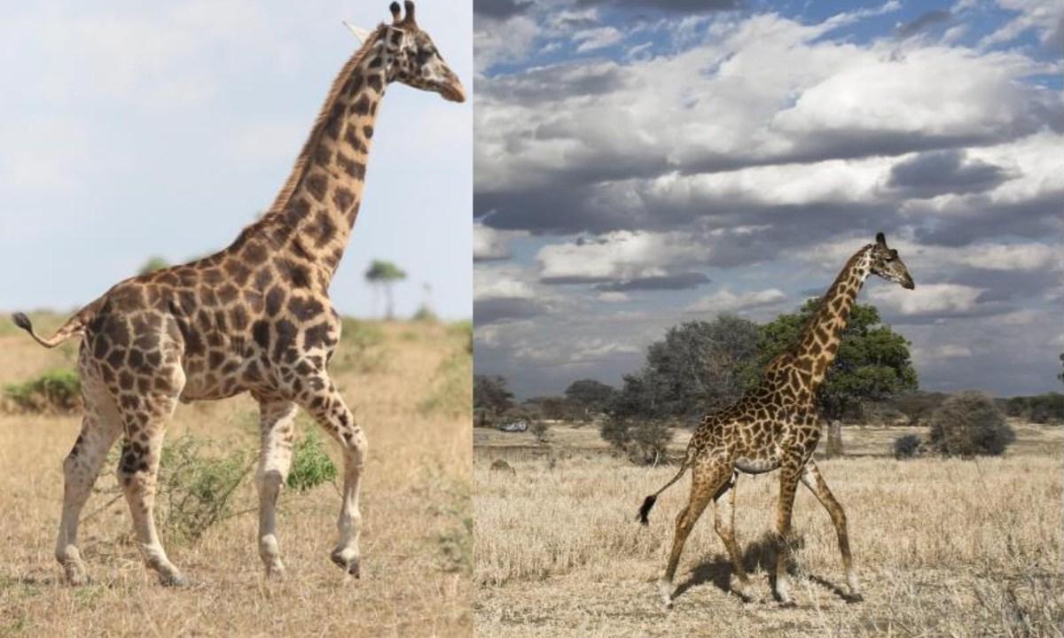 'Gimli' y 'Nigel', las jirafas enanas que sorprendieron a la comunidad científica