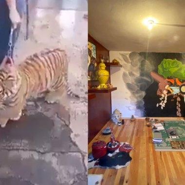 En Puebla, el video de un tigre siendo paseado como perrito reveló recinto donde se realizaban sacrificios y rituales