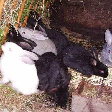 Activan alerta enfermedad hemorrágica viral conejos