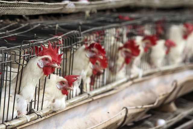La gripe aviar H5N8 se transmite de animales a humanos