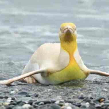 El primer pingüino amarillo que es fotografiado en el mundo
