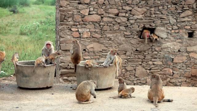 Bebé muerta robada manada de monos abandonada fosa India