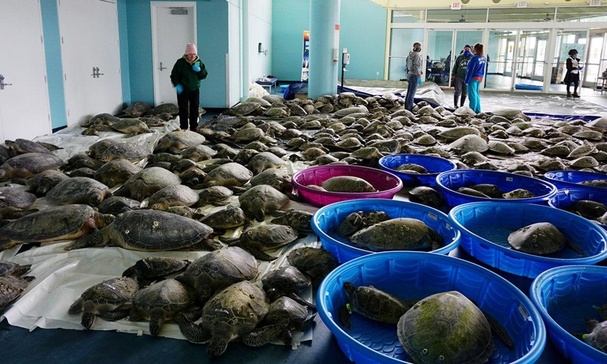 Texas: rescatan a miles de tortugas afectadas por las bajas temperaturas