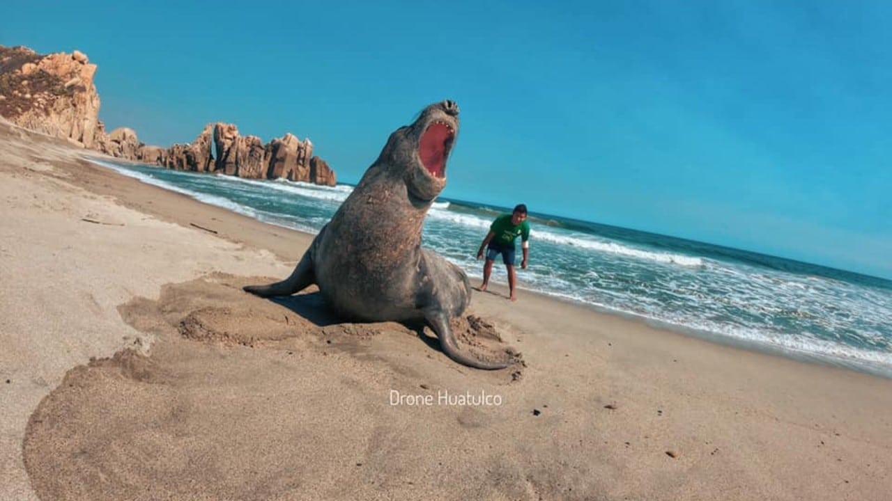 Video elefante marino playas Huatulco Oaxaca