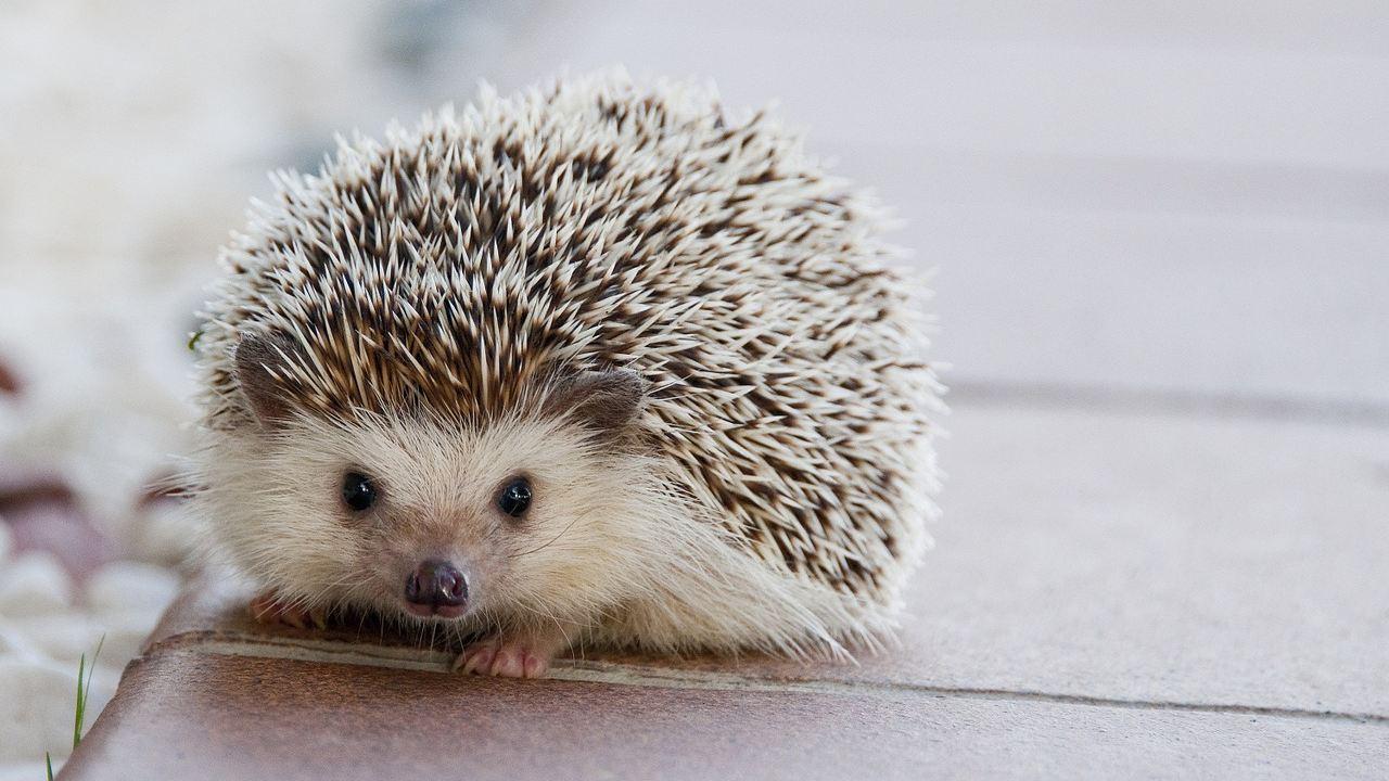 foto zoológico reemplaza erizo con cepillo