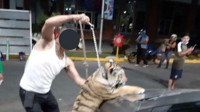Pasearon a tigre de bengala en calles de Mazatlán