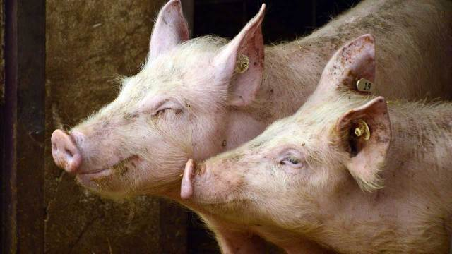 Hombre intento violacion castrado alimentar cerdos pene