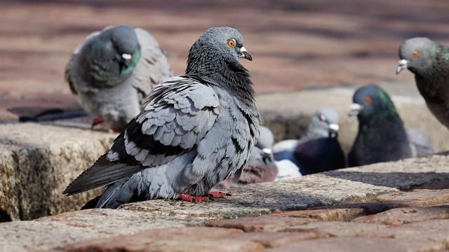 Bacteria paloma joven muere Coahuila