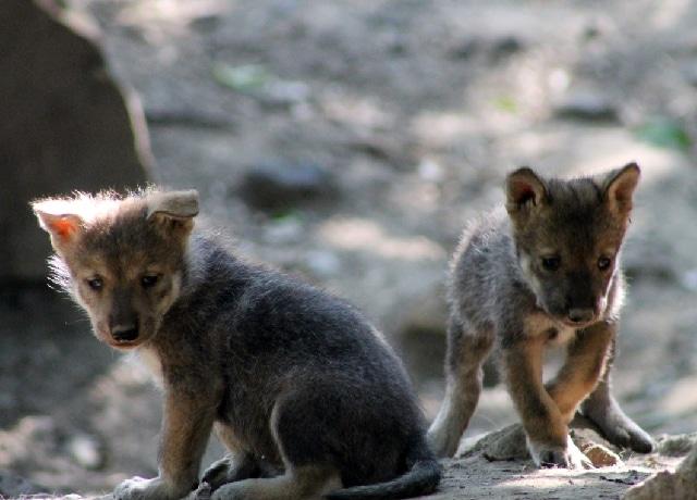 Video cachorro lobo Chapultepec aulló