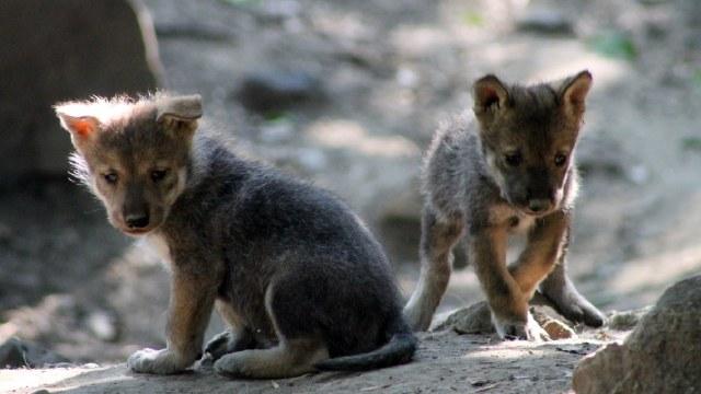 Cachorros lobo mexicano zoológico de Chapultepec