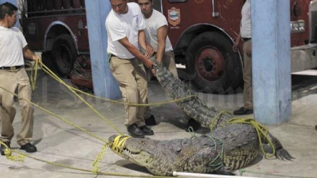 Cocodrilo asesinó mujer en Tampico fue liberado