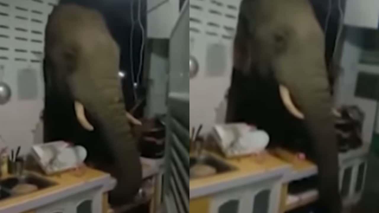 elefante entra a cocina por alimento