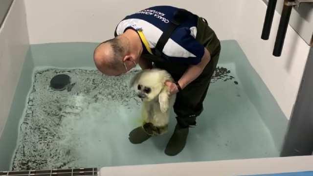 Video Foca bebé Toca agua aprende a nadar.