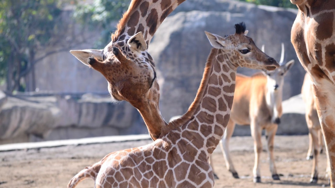 Nace Jirafa zoológico Aragón CDMX