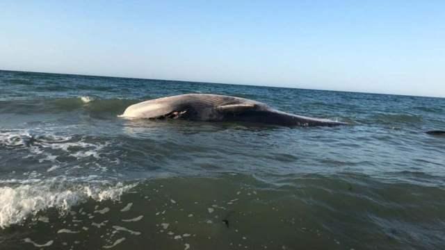 muere ballena rescatada en Puerto Peñasco