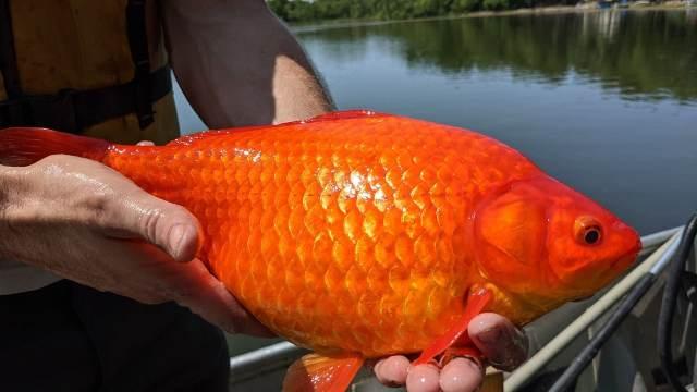 Peces dorados causan crisis en lagos de Estados Unidos