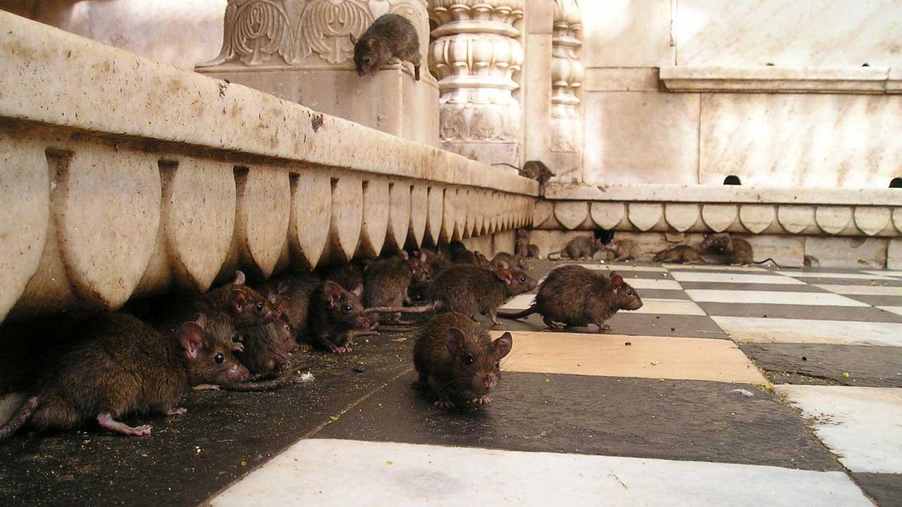 Mujer fue atacada por más de 100 ratas