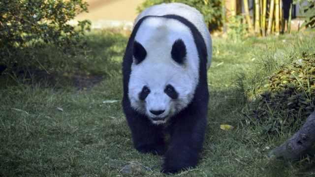 Pandas Gigantes No Están peligro de extinción