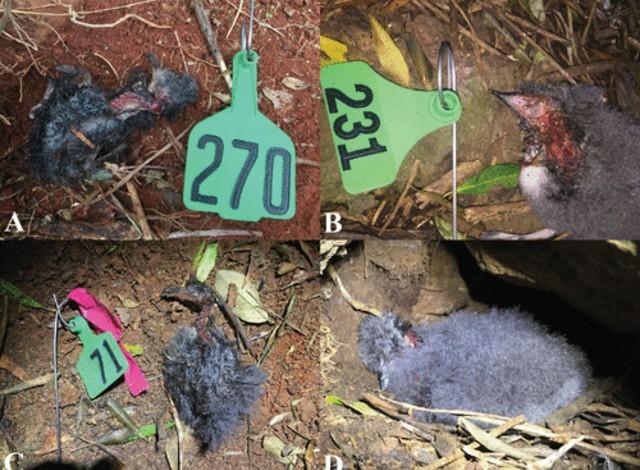 Descubren al ciempiés gigante como el mayor depredador de aves en Australia