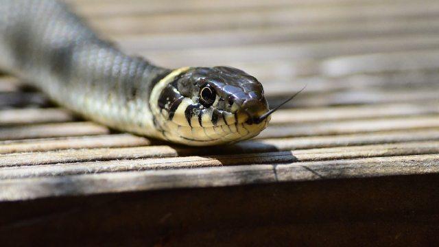 Serpientes cuidan niveles de radiación en Fukushima
