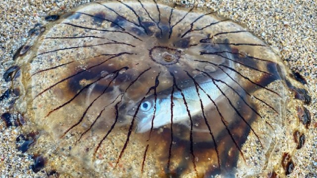 Encontraron a un pez intacto dentro de una medusa