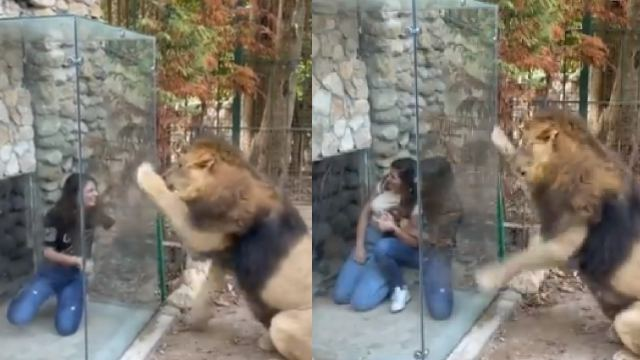 Torturan a león colocando caja de plexiglás en su jaula