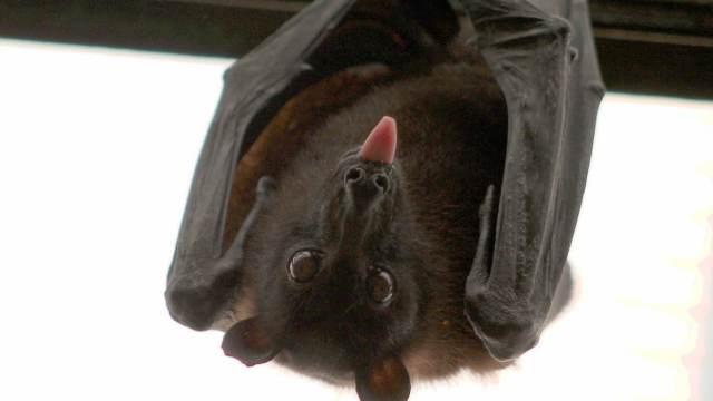 Un hombre de 80 años muere de rabia luego de despertar con un murciélago en su cuello