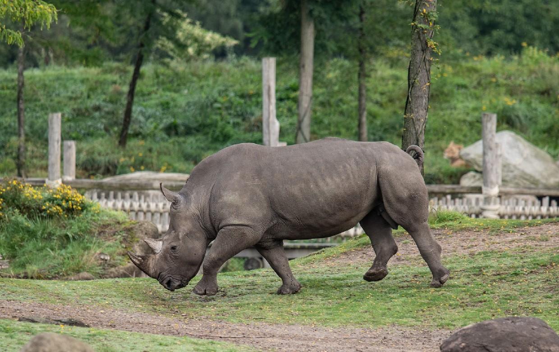 Hembra de rinoceronte muere ahogada; huía de macho que buscaba aparearse