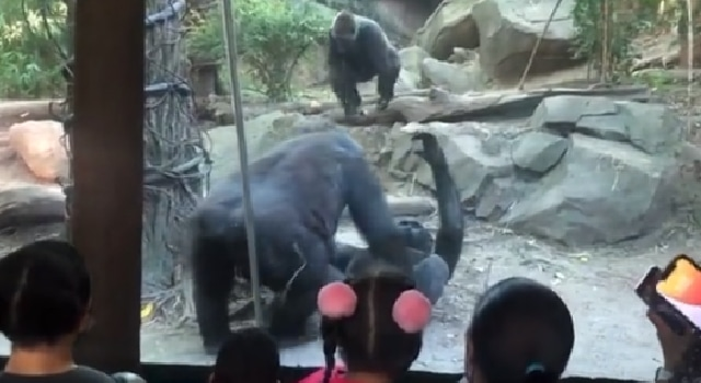 Padres vieron gorilas teniendo sexo oral