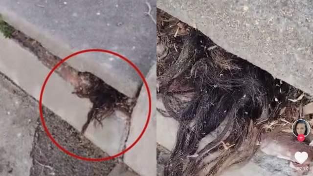 Descubren pelo saliendo de una tumba y se vuelve viral