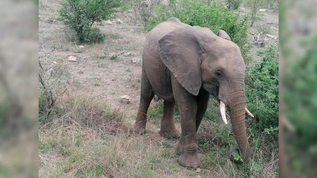 Presunto cazador furtivo pisoteado hasta la muerte por un elefante en Sudáfrica