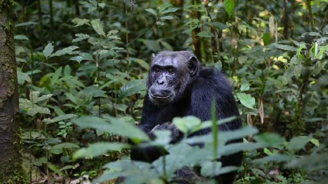 Encontraron chimpancés con lepra