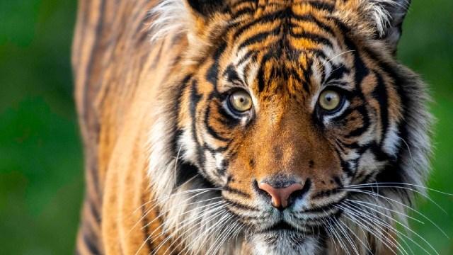 Un tigre en peligro de extinción mató a la hembra durante el acto sexual para preservar su especie