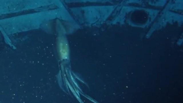 VIDEO: OceanX capta un calamar gigante a 850 metros de profundidad en el Mar Rojo
