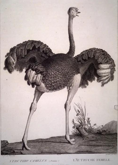 """""""L'autruche femelle"""", illustration de la Ménagerie du muséum par le maréchal Huet (Gallica BNF)"""