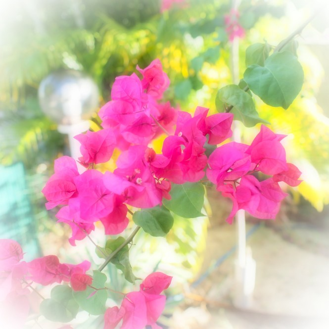 Martinique fleurs