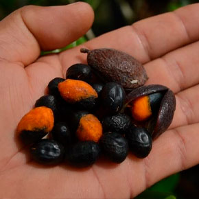 Óleo Resina Copaíba da Amazônia 20ml</br><i>(Copaifera reticulata)</i>