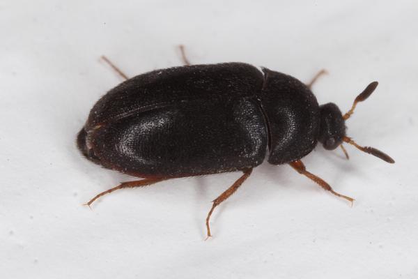 Black Carpet Beetle Like Bug - Carpet Vidalondon