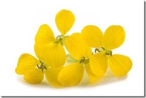 Sisymbre officinal Fleurs Erysimum