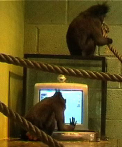 Macaque monkeys at work at the Paignton Zoo