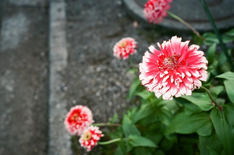 アグファ 赤い花 フラッシュ