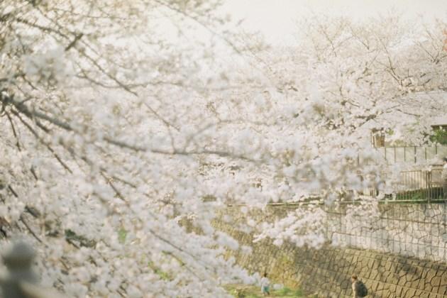 KodakSuperGold400×OM-1 さくら