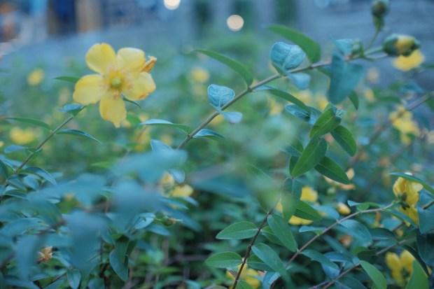 初夏の道ばた_黄色い花