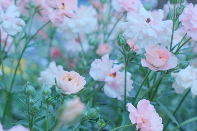 かわいいピンクのお花たち_神奈川県庁付近