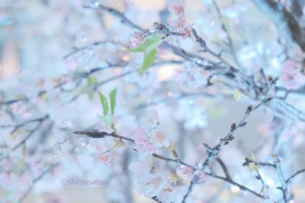 キラキラ☆サクラ_横浜ランドマークプラザのクリスタル桜