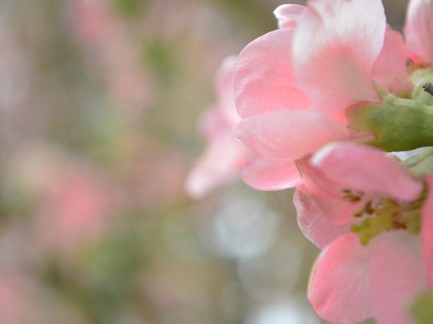 ピンク色の世界 背景ボケの色合いを気にしながら撮影