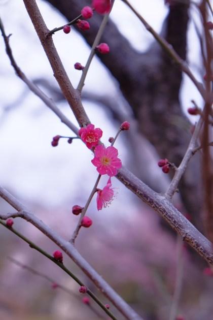 梅が丘 羽根木公園 梅まつりに行ってきた 入り口近くの紅梅