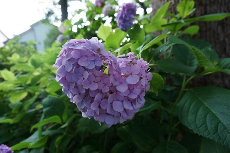 藤森神社紫陽花まつり